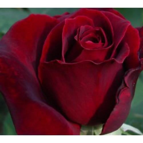 Tatjana Rose Bush Ladybird Roses