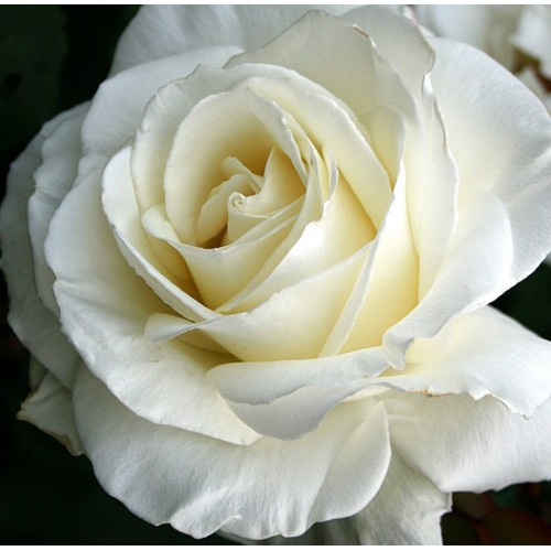 Tineke Rose Bush Ladybird Roses